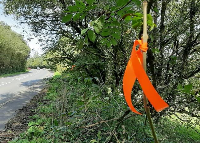 Orange paint and ribbons are being used to mark roadside trees which will have to be cut down due to ash dieback