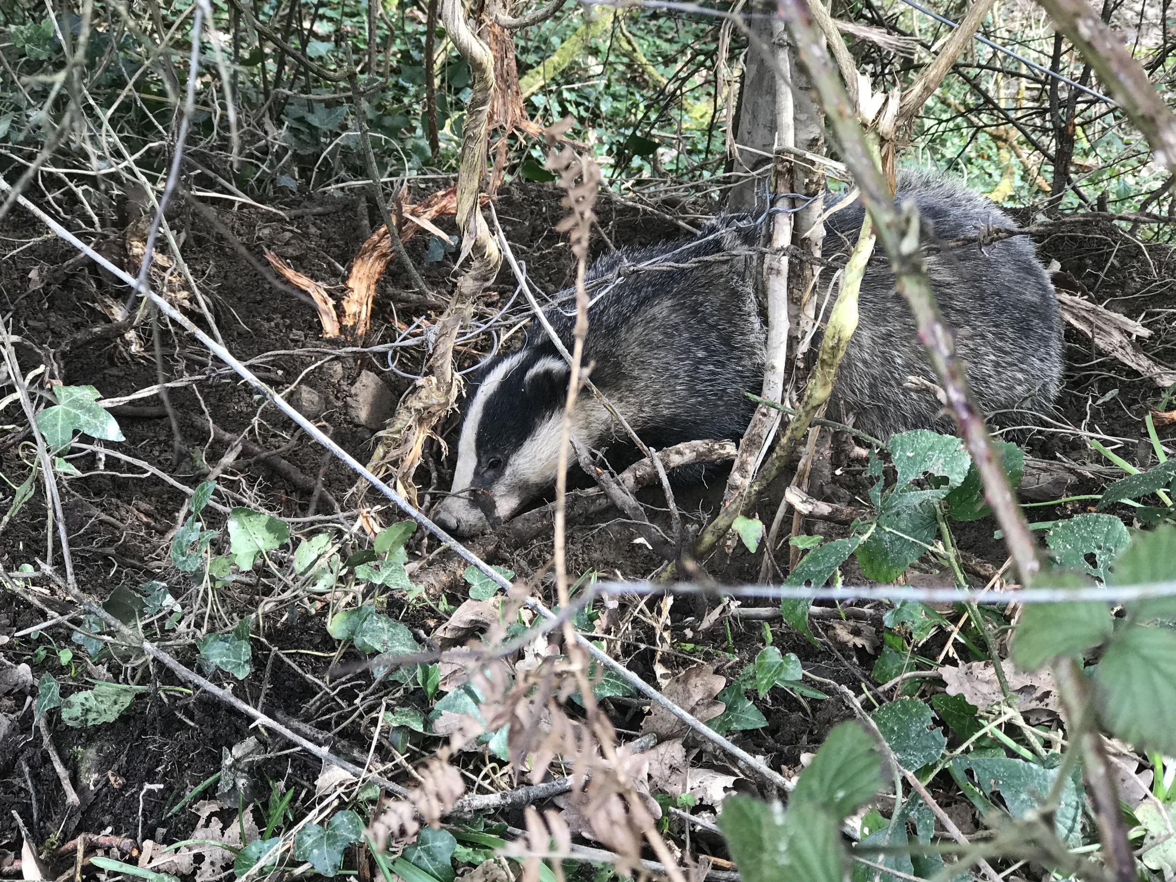 The badger was spotted struggling amid shrubs and hedgerow - before an RSPCA officer found that the wild animal had become trapped by a snare. Picture: RSPCA
