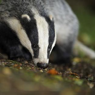 The Badger Trust sought a court rulin