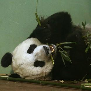 Experts at Edinburgh Zoo said Tian Tian should have gone into labour over the weekend but hormone tests suggeste