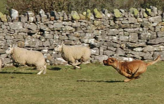 Dog attacks on livestock are a major problem in rural areas