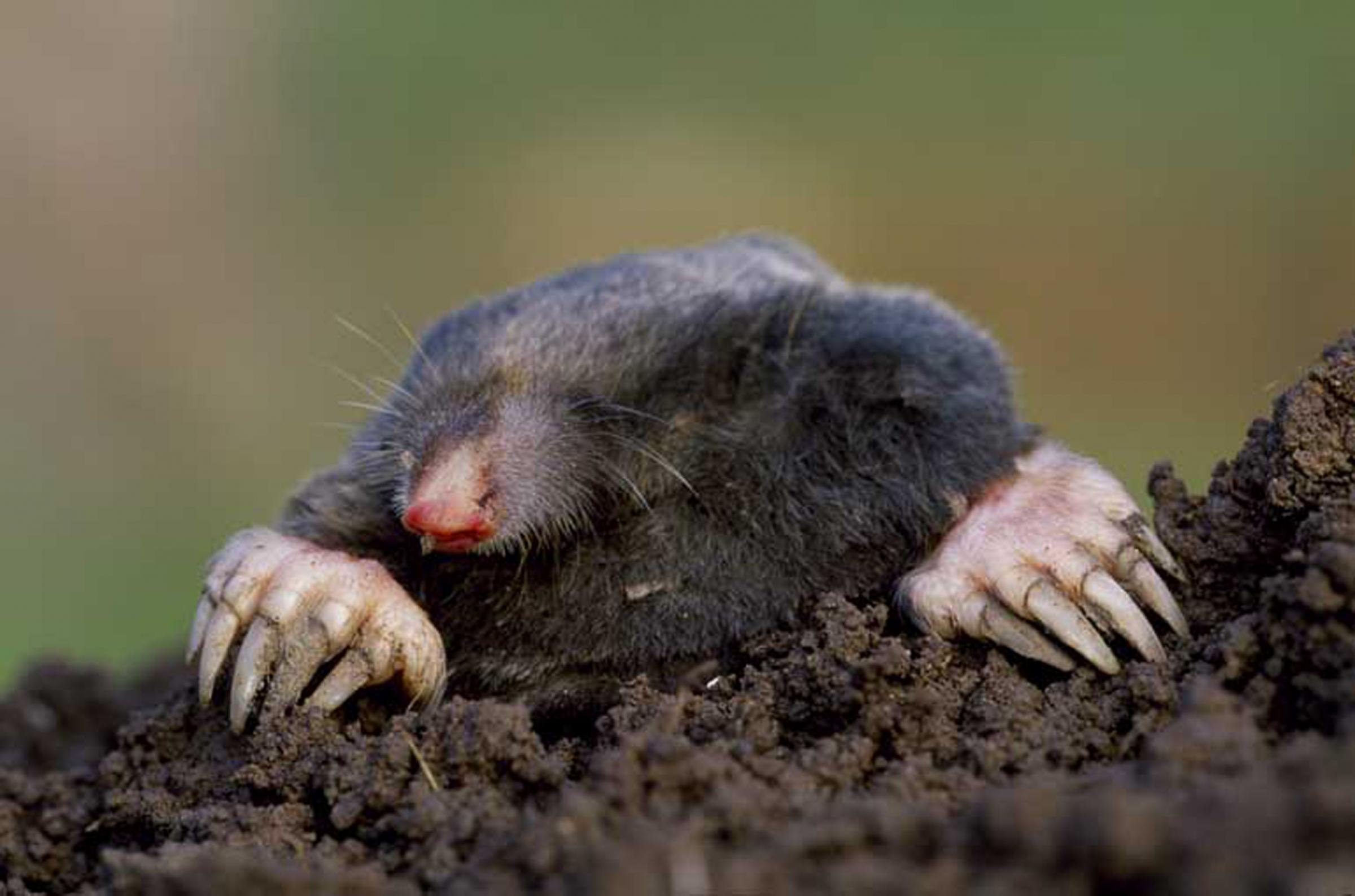 Moles are causing problems at Newcastle Emlyn