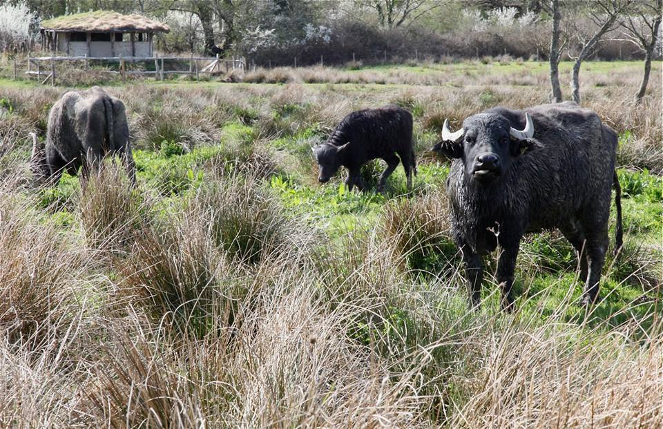 The water buffalo have returned for another summer on the Teifi marshes. PICTURE: Wildlife Trust of South and West Wales