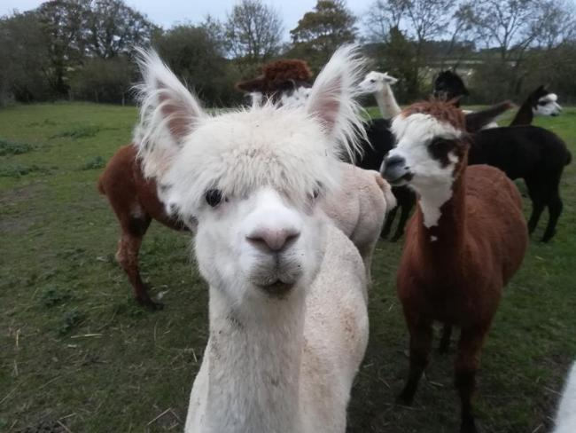 Plannrs have approved a One Planet Development scheme which will see the production of alpaca wool